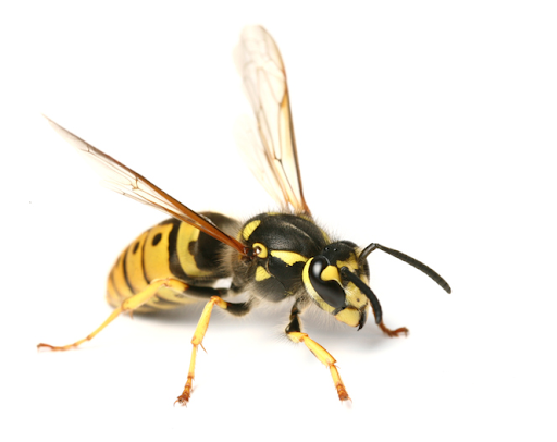 Top Benefits of Local Wasp Services